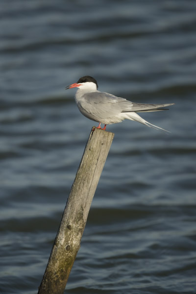 common_tern-6722.jpg