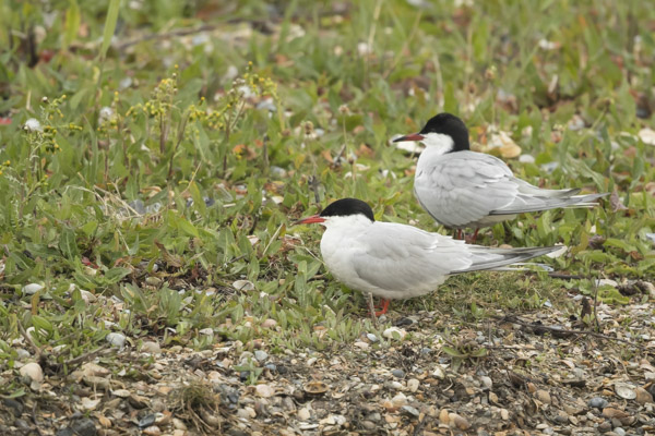 common_terns-2533.jpg