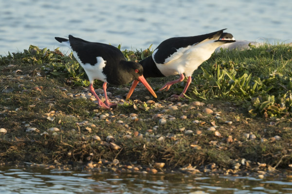 oystercatchers-6293.jpg