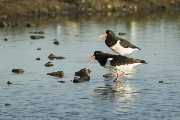 oystercatchers-6407.jpg