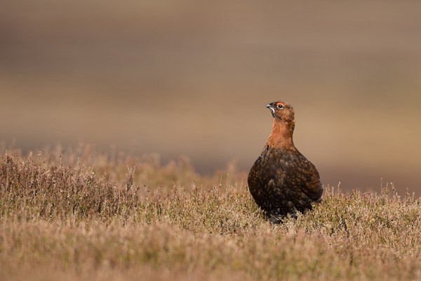 grinton_moor_grouse.jpg