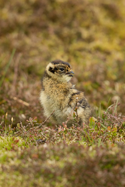 grouse_chick.jpg