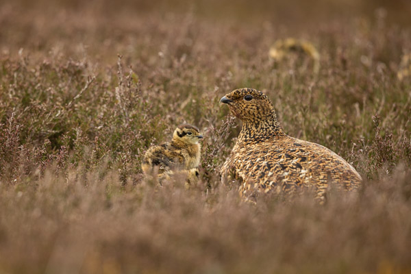 grouse_family_on_grinton_moor.jpg