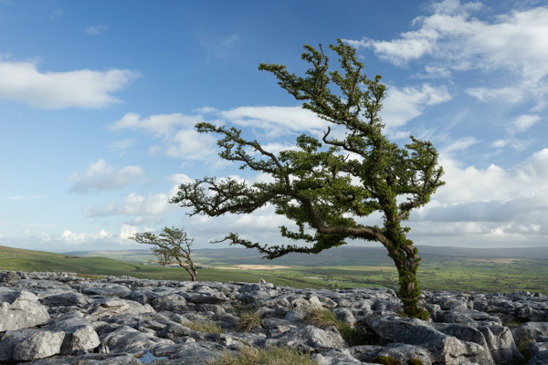 hawthorn_at_twistleton_scar.jpg
