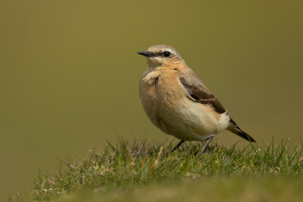 wheatear_on_grinton_moor.jpg