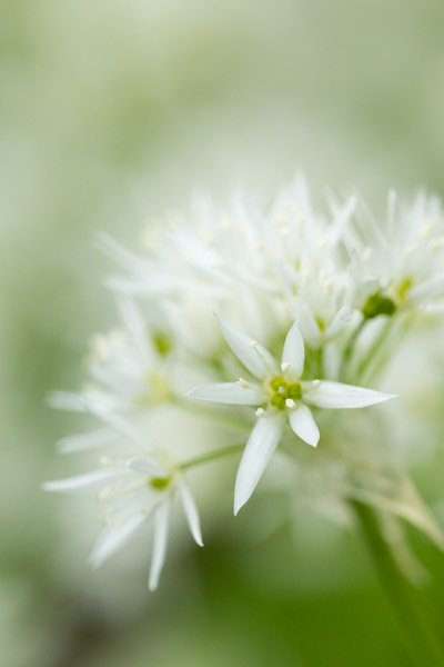 wild_garlic_flower.jpg